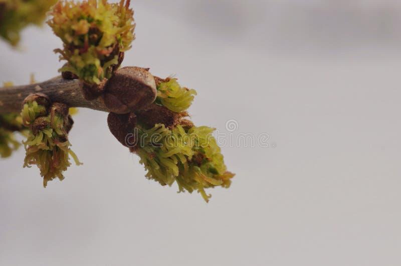 Botões da árvore na primavera foto de stock royalty free
