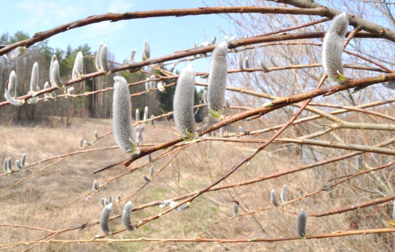 Botões da mola em árvores fotografia de stock royalty free