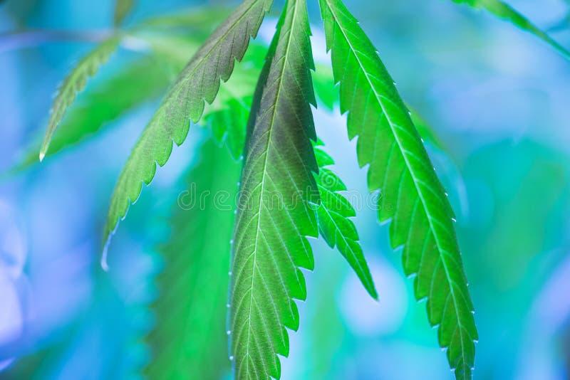 Botões de florescência da marijuana (cannabis), planta do cânhamo imagem de stock royalty free