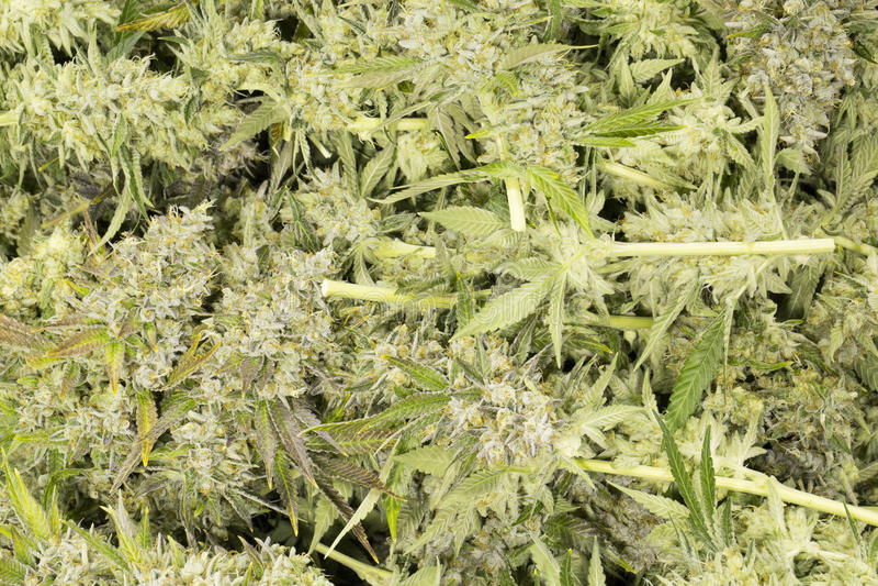 Botões de florescência da marijuana (cannabis), planta do cânhamo imagens de stock
