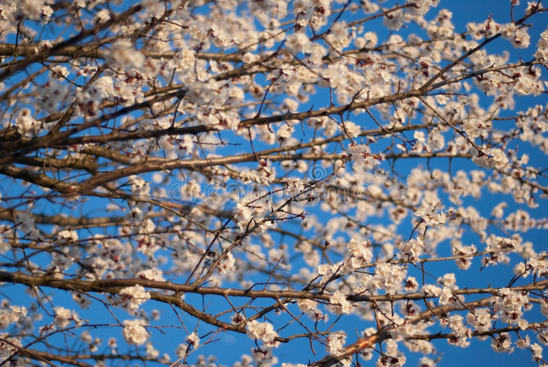 Botões de florescência na árvore imagens de stock