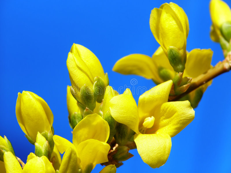 Botões do Forsythia foto de stock