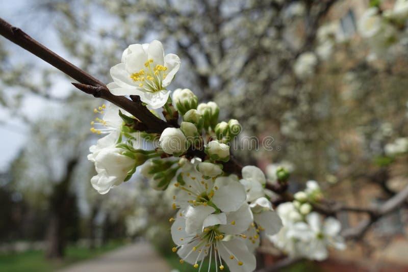 Botões fechados e flores brancas da cereja imagem de stock royalty free