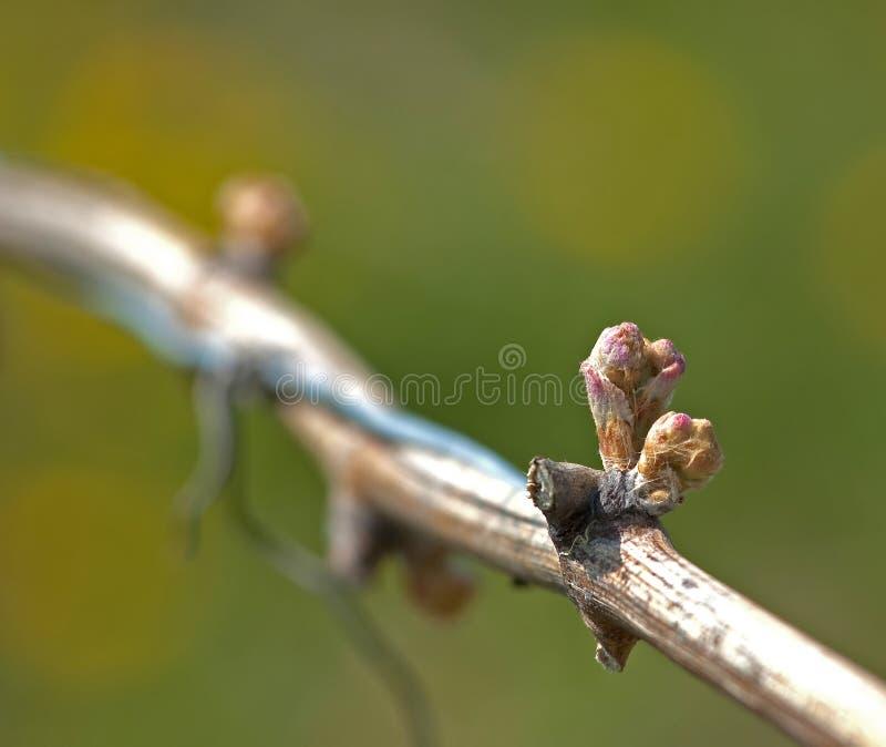 Botões no vinho da uva fotografia de stock