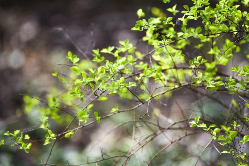 Bot?es verdes da mola em ?rvores folhas do verde fotos de stock
