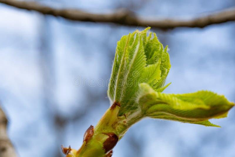Bot?o em uma castanha de cavalo da ?rvore na mola, folhas modestas da castanha na mola As folhas verde-clara fecham-se acima Fund fotos de stock