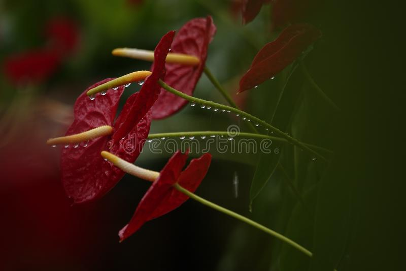 Anthurium flowers in a botanic garden. A botanic garden full of multiple colors little anthurium flowers in a wet cloudy day stock photography