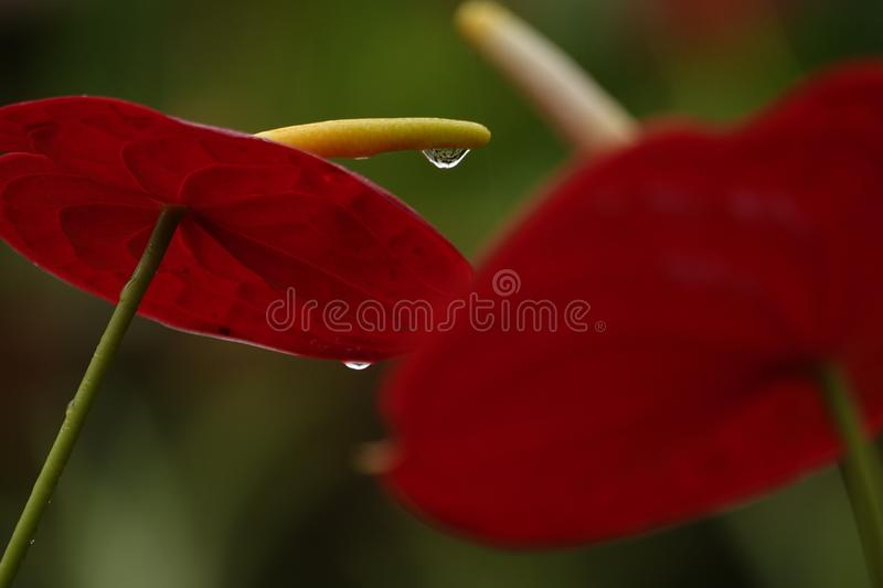 Anthurium flowers in a botanic garden. A botanic garden full of multiple colors little anthurium flowers in a wet cloudy day stock images