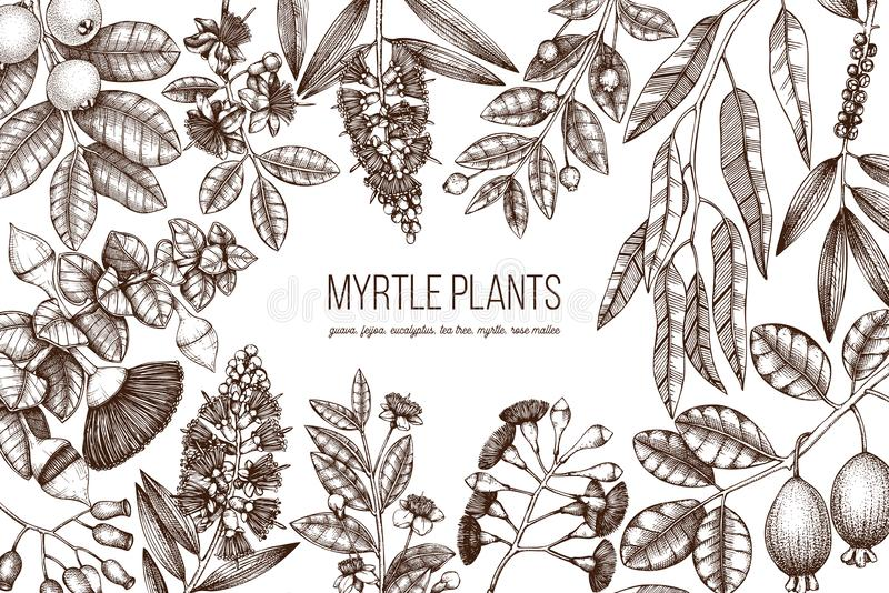 Botanical background with beautiful myrtle plants sketches. Hand drawn feijoa, Eucalyptus, tea tree, guava, myrtus drawings. Exoti royalty free illustration