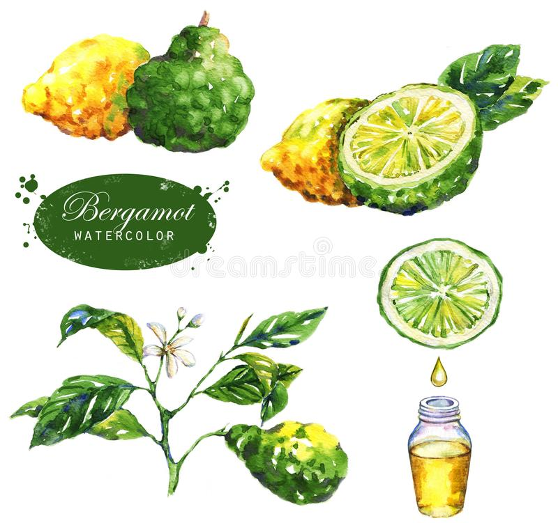 Botanical drawing isolated on the white background: bergamot fruits, branch, slice, bergamot oil, leaves and blossom. royalty free stock image