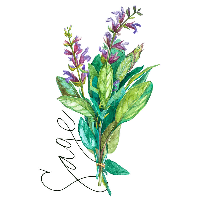 Botanical drawing of a Sage. Watercolor beautiful illustration of culinary herbs used for cooking and garnish. Isolated. Botanical drawing of a Sage. Watercolor stock illustration