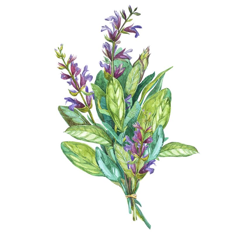 Botanical drawing of a Sage. Watercolor beautiful illustration of culinary herbs used for cooking and garnish. Isolated. On white background stock illustration
