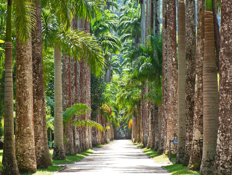 The Botanical Garden in Rio de Janeiro. The Palm alley in The Botanical Garden in Rio de Janeiro royalty free stock photography