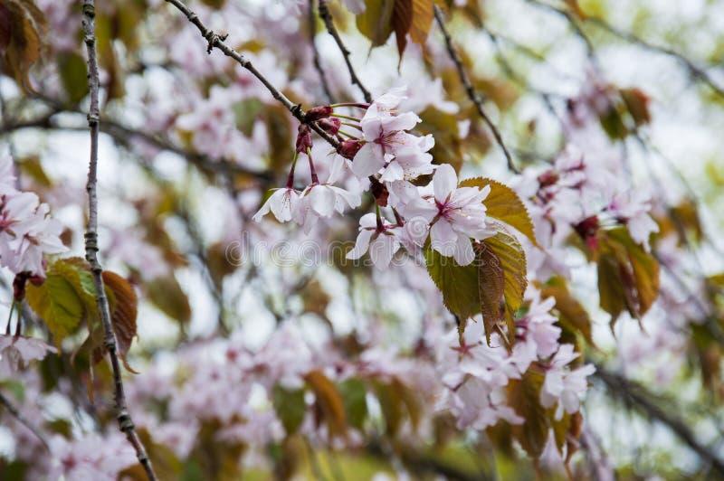 Botanical garden in spring season with bloming trees of cherry sakura, rhododendron bushes, forsythia.  stock image