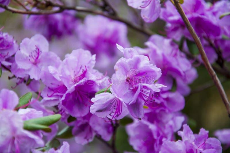 Botanical garden in spring season with bloming trees of cherry sakura, rhododendron bushes, forsythia.  stock photography