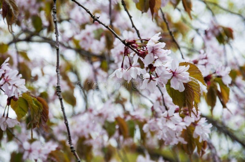 Botanical garden in spring season with bloming trees of cherry sakura, rhododendron bushes, forsythia.  royalty free stock photography