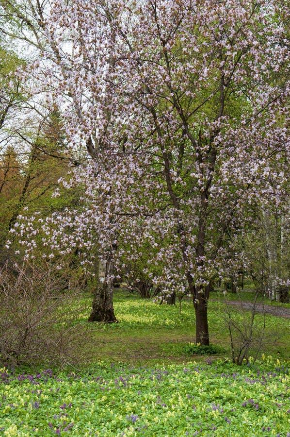 Botanical garden in spring season with bloming trees of cherry sakura, rhododendron bushes, forsythia.  royalty free stock photos