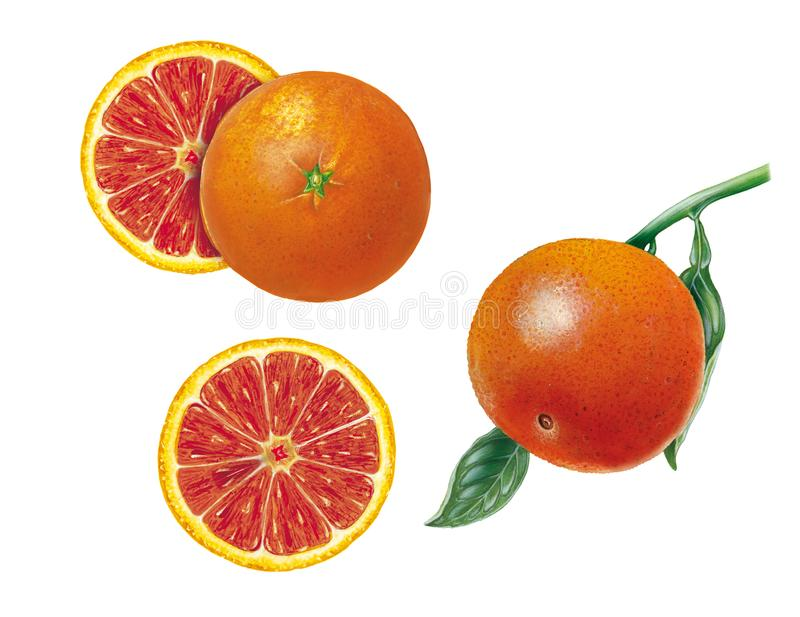 Botanical Realistic Illustration Of Blood Orange Citrus Sinensis With A Fruit Leaves And Cut Fruits On White Background