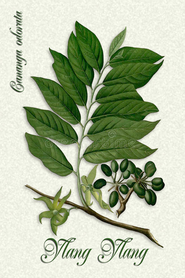 Vintage Botanical illustration of Ylang-Ylang stock images