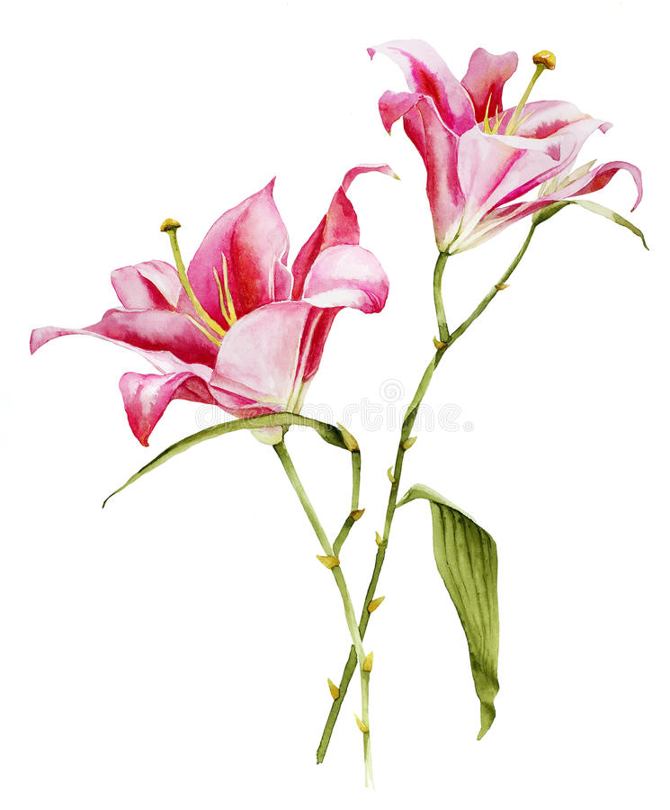 Botanical Lilia flower watercolor stock illustration