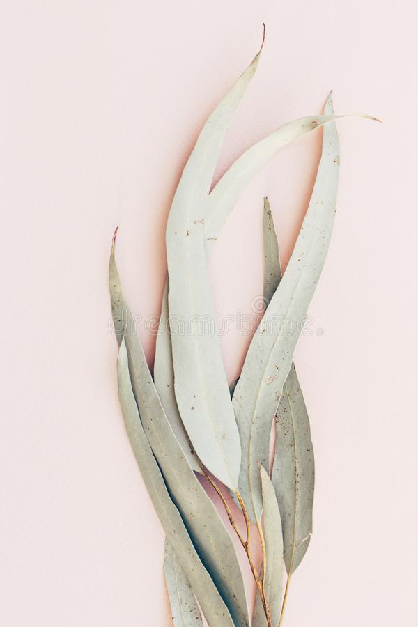 Botanical print, eucalyptus leaves closeup on pink paper background royalty free stock photos