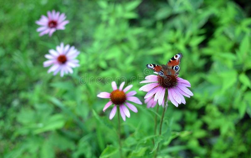 Botanical wallpaper with peacock butterfly on purple echinacea flower stock images