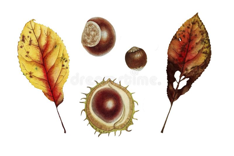 Botanical watercolor with autumn leaf and chesnut royalty free illustration