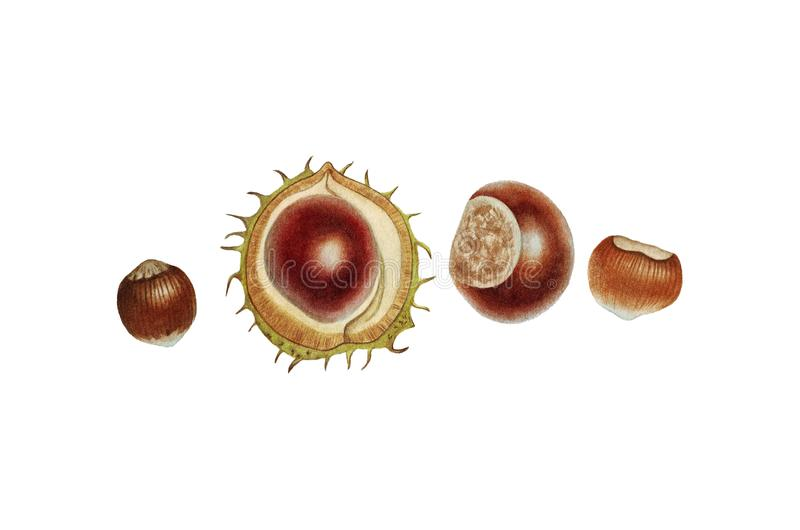 Botanical watercolor of chesnut and nut stock image