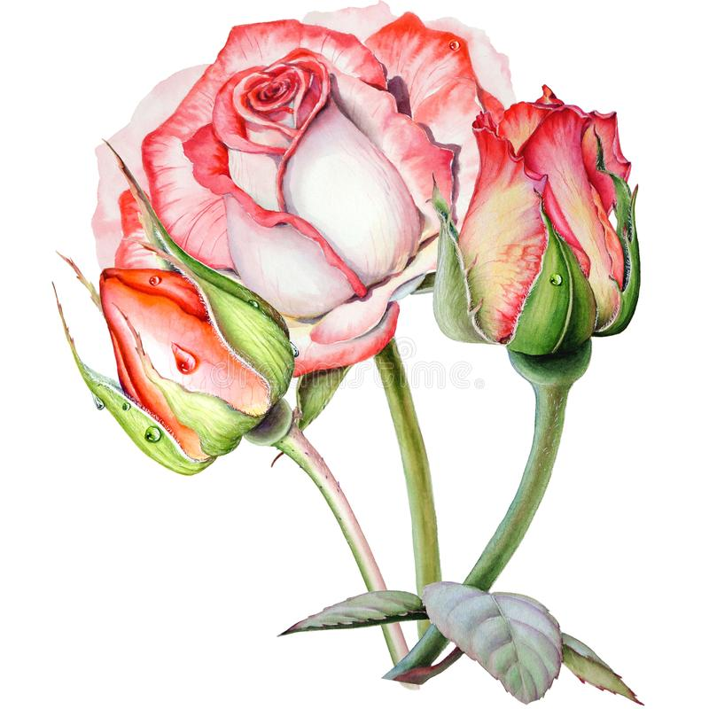 Botanical watercolor drawing with romantic composition of three yellow pink roses stock illustration
