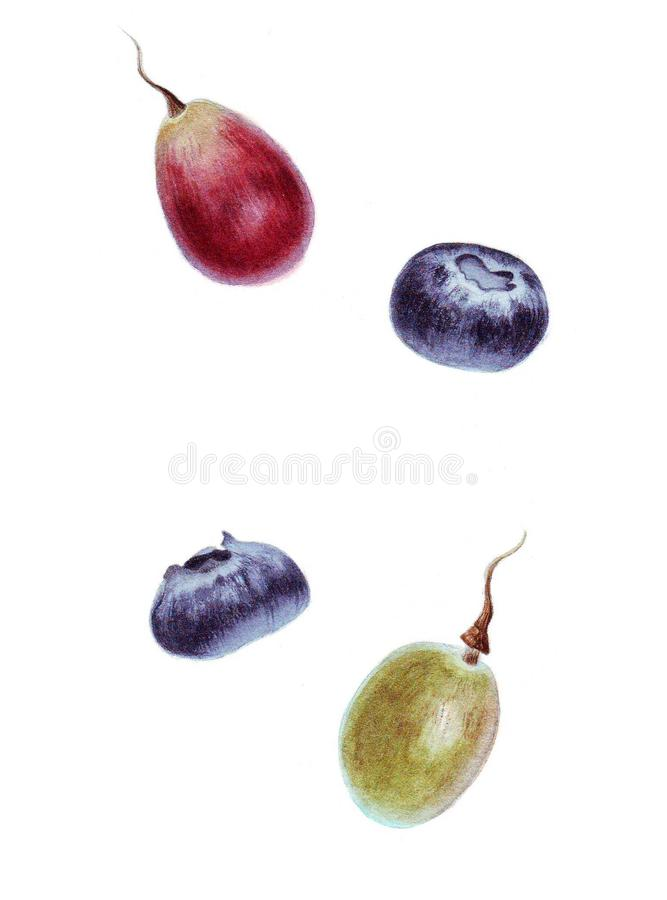 Botanical watercolor with grape and blueberry royalty free stock images