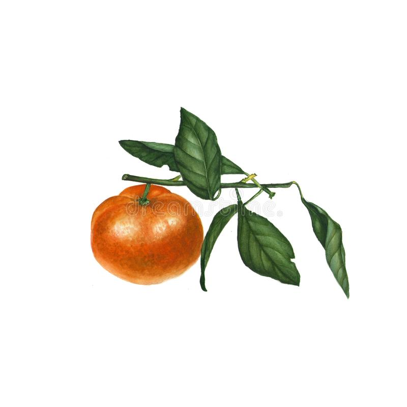 Botanical watercolor illustration of orange tangerine mandarin isolated on white background. Could be used as decoration for web , healthy market, restaurant royalty free illustration