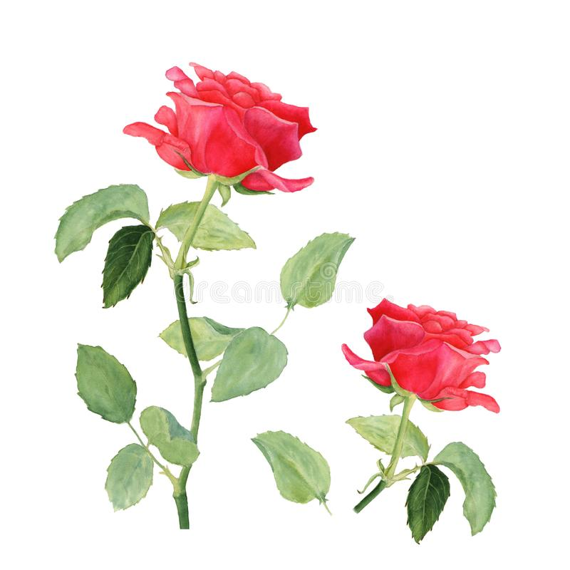 Botanical watercolor illustration of red rose isolated on white background. Could be used as decoration for web design, cosmetics design, package, textile royalty free stock photos
