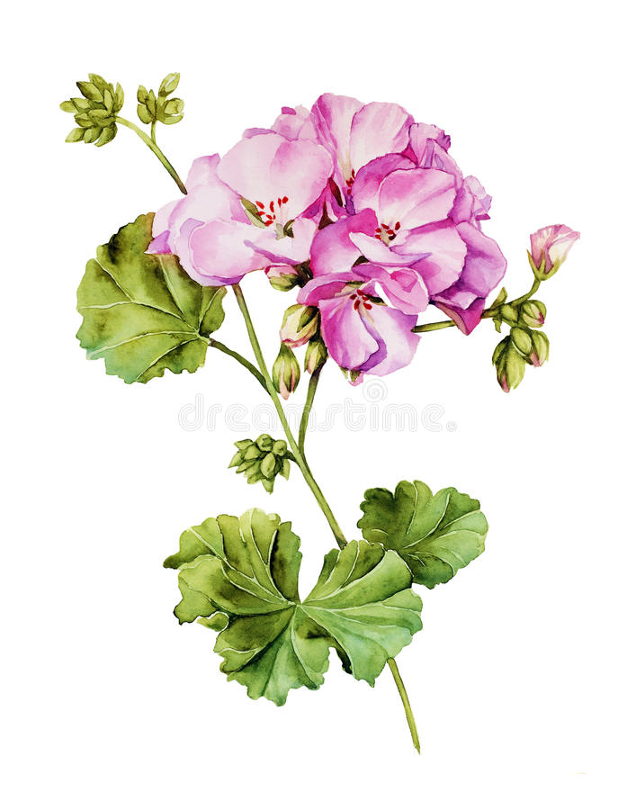 Free Botanical Watercolor Painting With Geranium Flower Stock Photo - 53822080