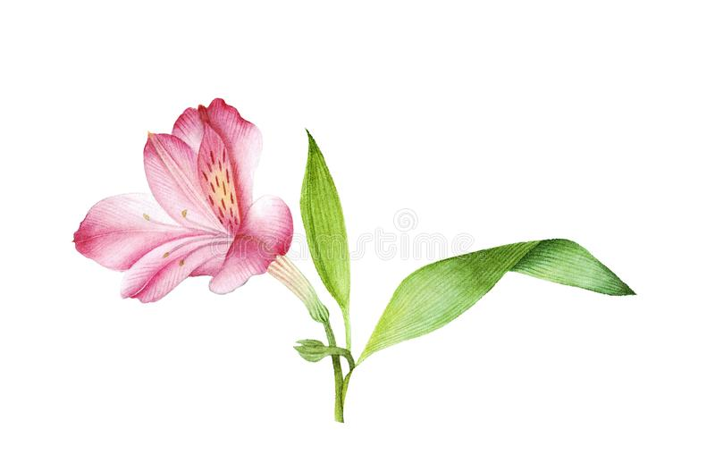 Botanical watercolor of pink alstroemeria royalty free stock photos