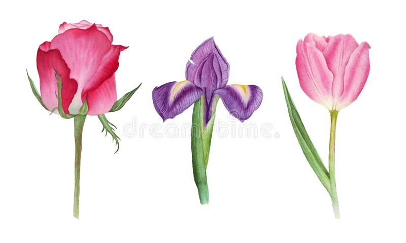 Botanical watercolor with rose, tulip and iris royalty free stock photos