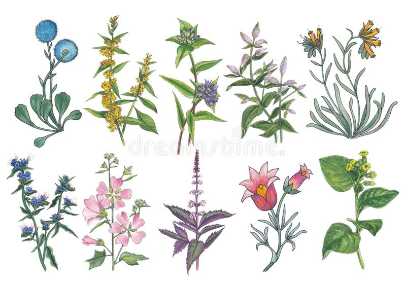 Botanical watercolor set of forest and meadow flowers. royalty free illustration