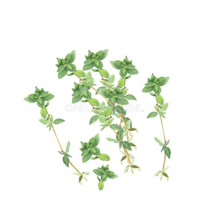 Botaniczna akwareli ilustracja gałąź odizolowywać na białym tle macierzanka royalty ilustracja