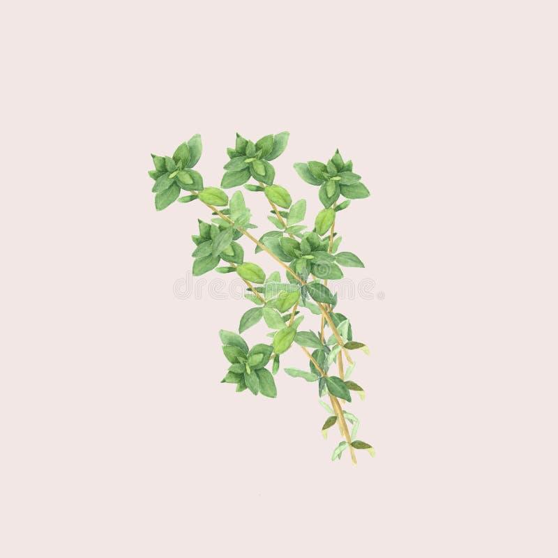 Botaniczna akwareli ilustracja gałąź odizolowywająca na świetle macierzanka - różowy tło royalty ilustracja