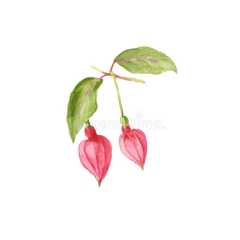 Botaniczna akwareli ilustracja Piękni różowi fuksja pączki odizolowywający na białym tle ilustracji