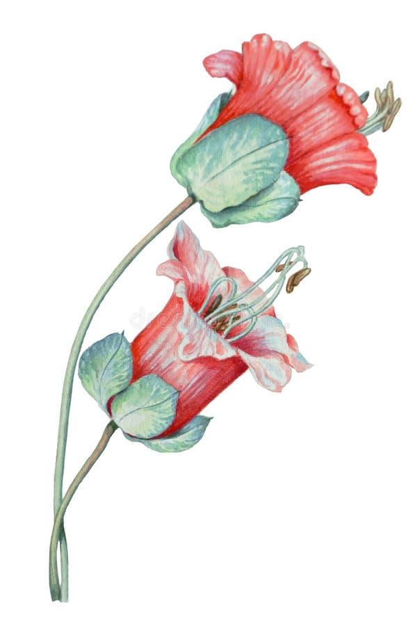 Botaniczna akwareli ilustracja tropikalna menchia kwitnie ilustracji