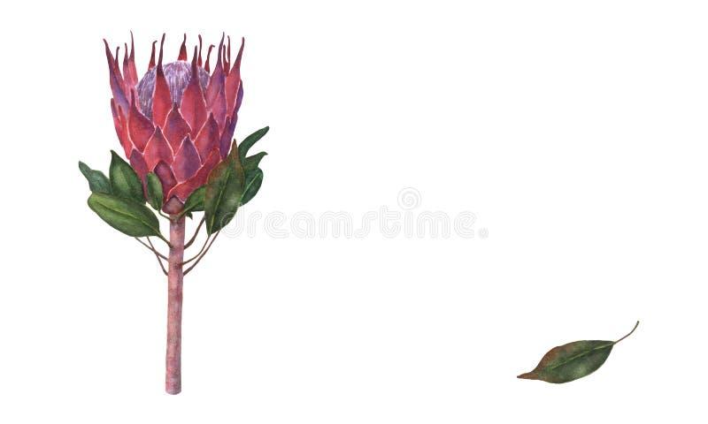 Botaniczna ilustracja królewiątka Protea, akwareli ręka rysująca, na białym tle, odizolowywającym ilustracji