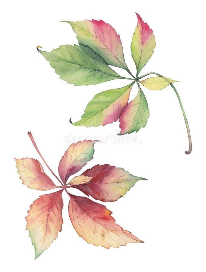 Botaniczna ilustracja Parthenocissus gronowi liście zdjęcia royalty free