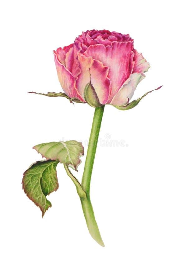 Botaniczna ilustracja urocza delikatna menchii róża ilustracji