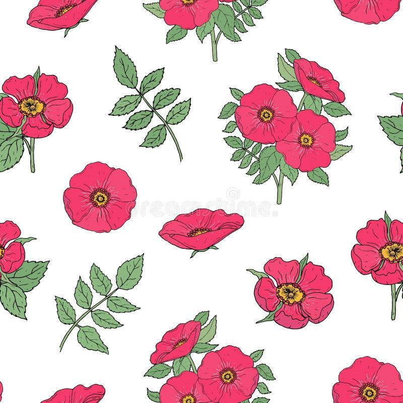 Botaniczny bezszwowy wzór z menchia psem wzrastał kwiaty, trzony i liść rękę rysującą w antyka stylu na białym tle, ilustracji