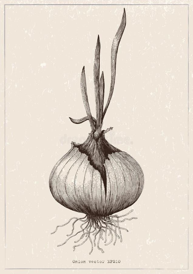Botaniczny cebulkowej ręki rysunkowa antykwarska ilustracja na roczniku royalty ilustracja