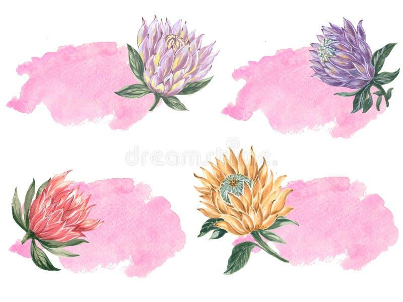 Botaniczny kolaż z królewiątka protea sztandarem dla poślubiać projekt ilustracja wektor
