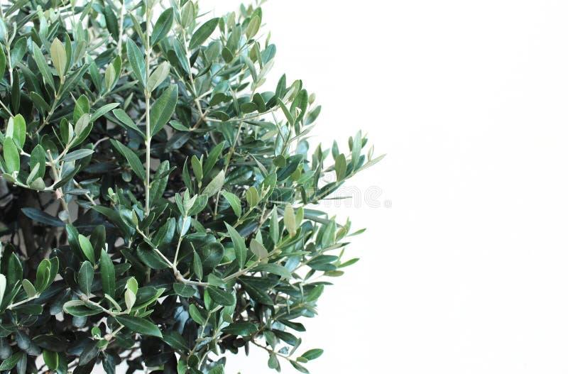 Botaniczny projektujący akcyjny wizerunek, sieć sztandaru zielony drzewo oliwne zbliżenie opuszcza i gałąź, Olea europaea nad bie fotografia stock