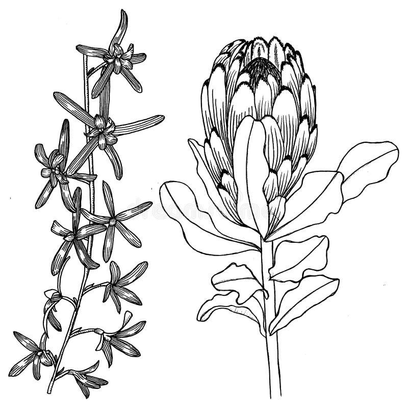 Botaniczny rysunek Kwiaty ilustracja wektor