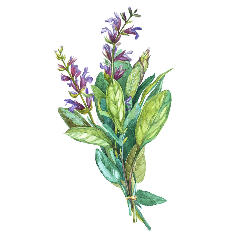 Botaniczny rysunek mędrzec Akwareli piękna ilustracja kulinarni ziele używać dla gotować i garnirunku odosobniony ilustracji
