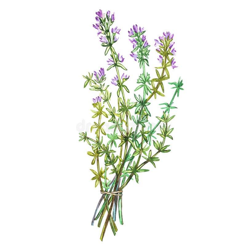 Botaniczny rysunek macierzanka Akwareli piękna ilustracja kulinarni ziele używać dla gotować i garnirunku odosobniony royalty ilustracja